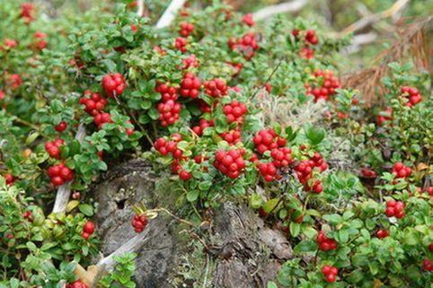 Preiselbeere Red Pearl Vaccinium Vitis Idaea Red Pearl Ground Cover Ground Cover Plants Winter Plants