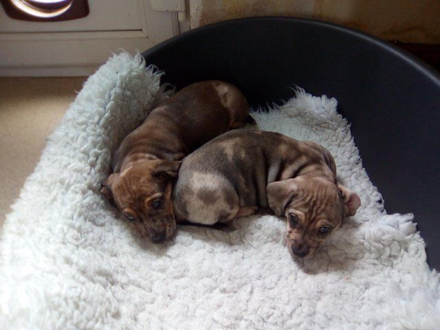 Dachshund cross British bulldog puppies For Sale in ...