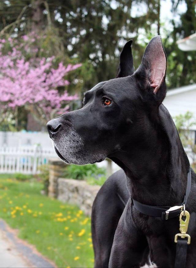 My Great Dane Most Beautiful Dogs Beautiful Dogs Cute Animals
