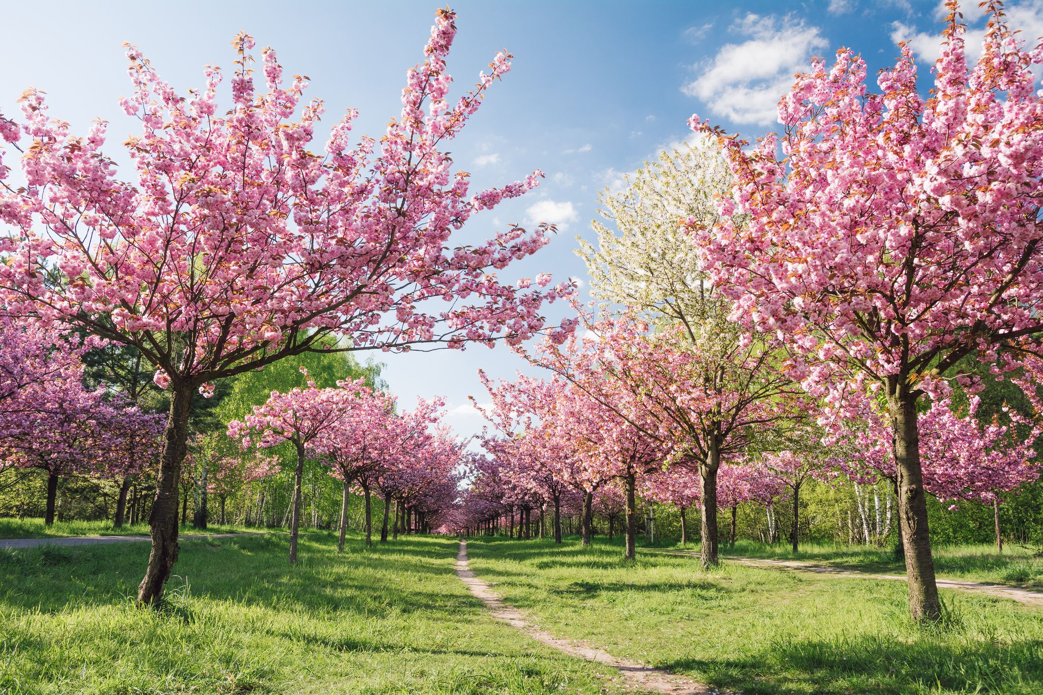 Visiting Germany In Spring Is A Great Time For Cherry Blossoms Festivals And Warmer Weather The Bes Magnolia Tree Landscaping Spring Landscape Blossom Trees