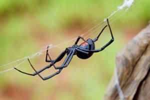 Black widow spiders are shiny black with an hourglass-shaped red mark on the underside of their abdomen.