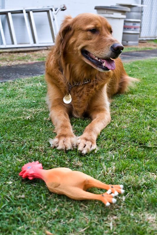 Kona And The Rubber Chicken Best Dog Toys Rubber Chicken