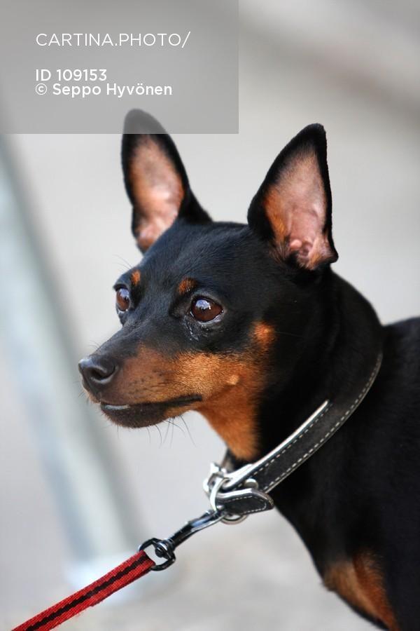 Chihuahua Maailman Pienin Koirarotu 109153 Chihuahua Hihna Koira Koira Hihnassa Koirarotu Kotielain Kuvituskuva Lemmikki Pien Chihuahua Dogs Animals