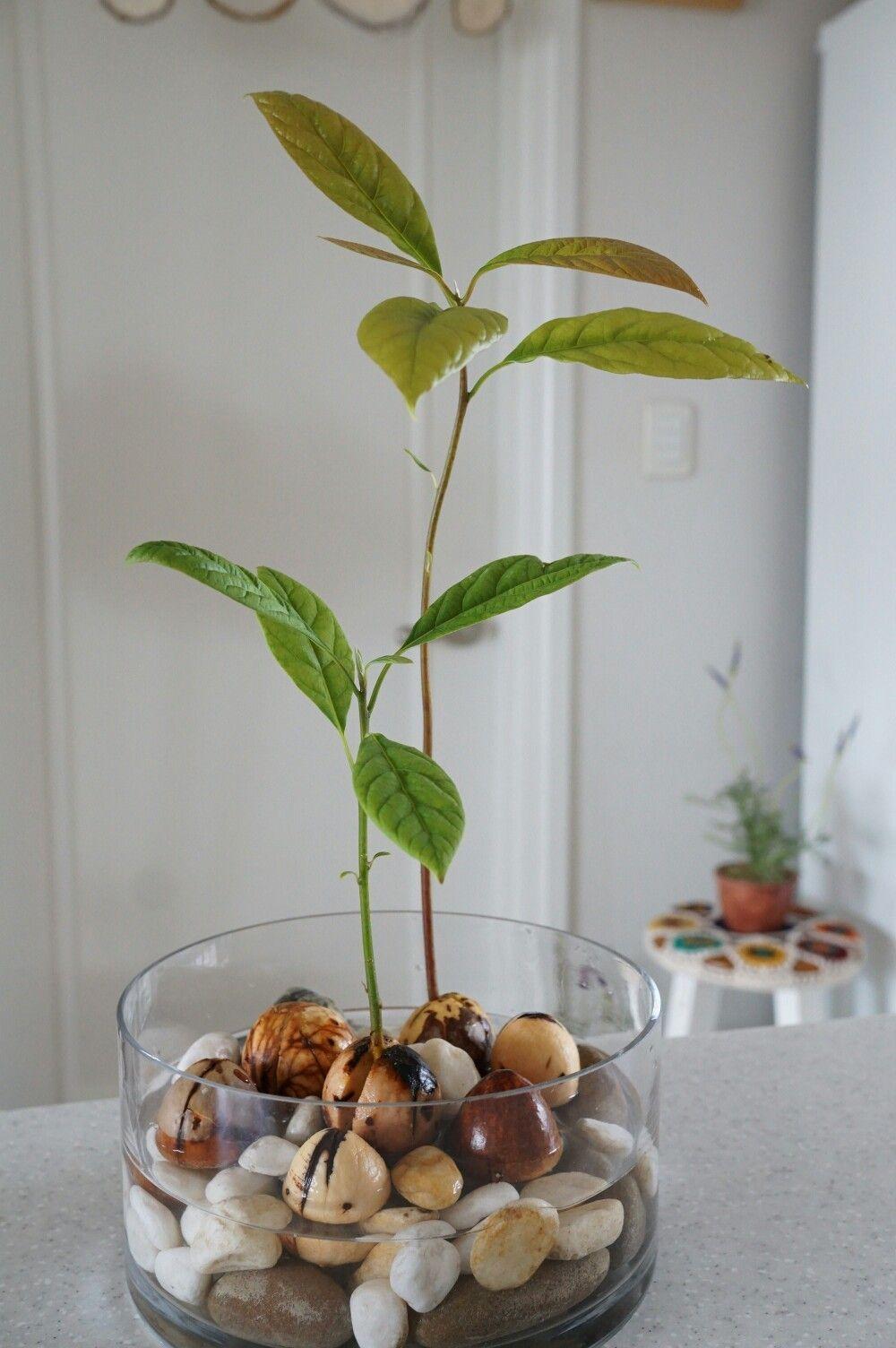 Photo of Wachsende Avocado #avocado #wachsende#avocado #wachsende