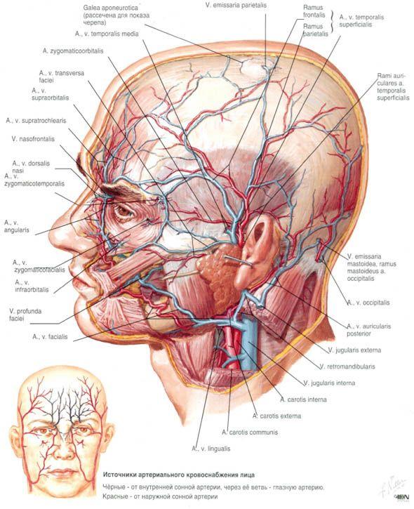 Pin de Pablo Falcone en Anatomía | Pinterest | Anatomía