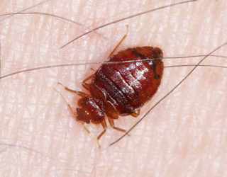 An adult bed bug. Photo courtesy of Bart Drees, Texas A&M