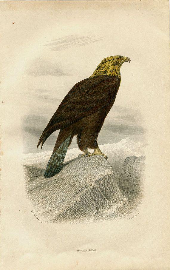 Antique Birds Print Golden Eagle Birds Of Prey Authentic French Engraving Buffon Natural History Bird Prints Birds Animal Painter