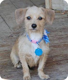 Hagerstown Md Terrier Unknown Type Medium Dachshund Mix