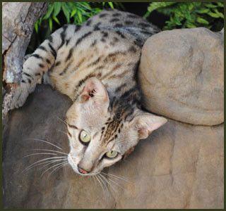F1 F2 F3 F4 F5 Savannah Cats For Sale Kitten Breeders Tx Savannah Cat F5 Savannah Cat Savannah Chat