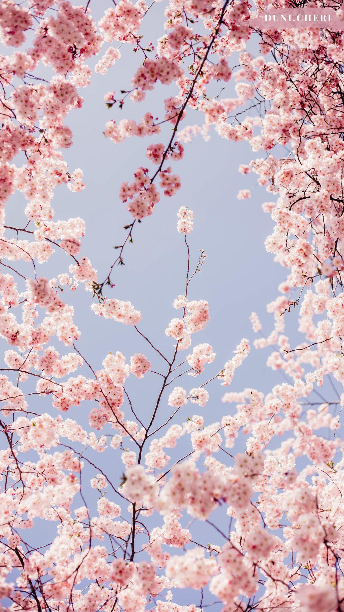 Pin En Un N T U R E In 2020 Cherry Blossom Wallpaper Iphone Background Wallpaper Flower Phone Wallpaper