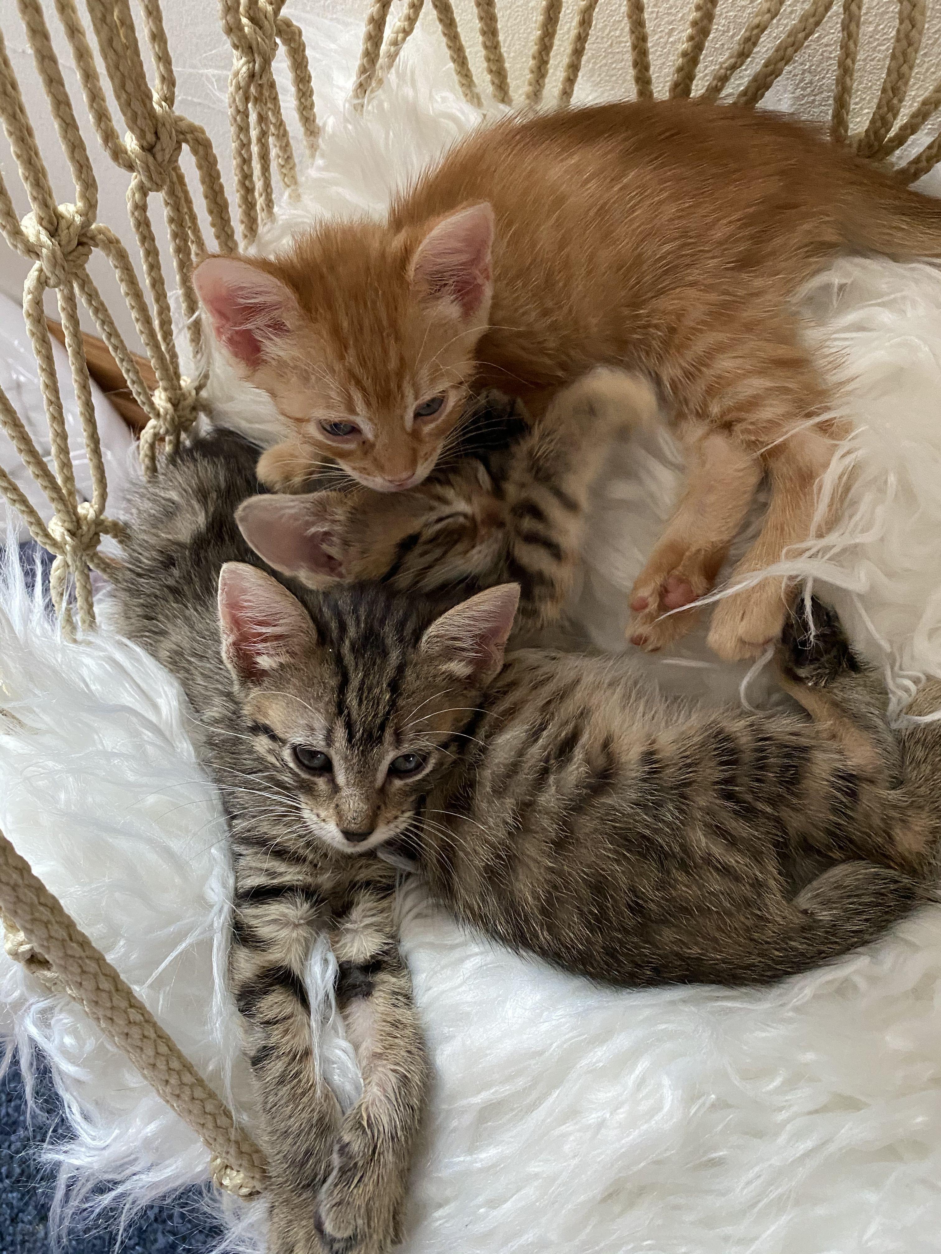 Kittens In A Hammock In 2020 Cat Hammock Kittens Cutest Cats