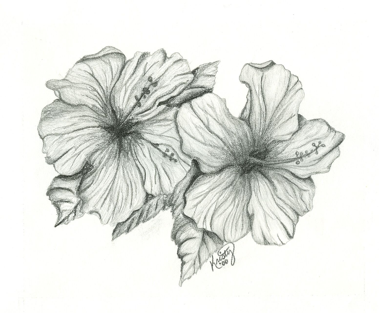 drawing of hibiscus - ...