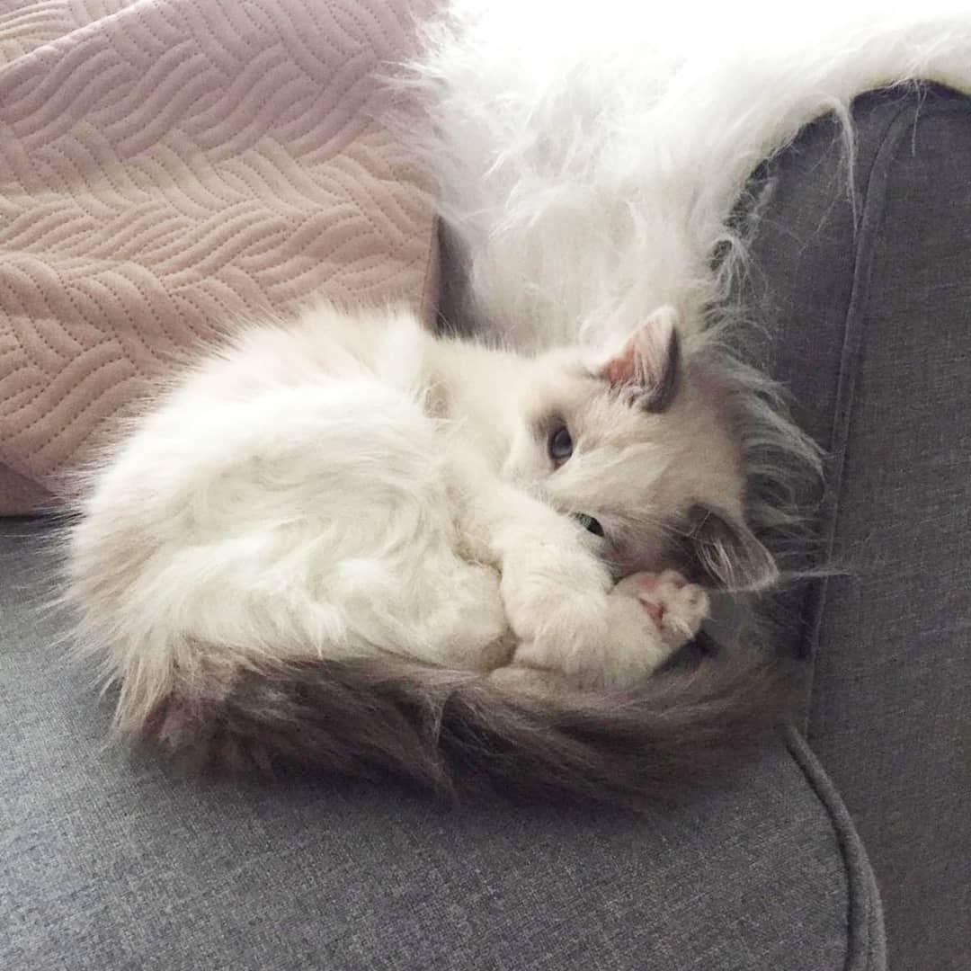 Princess Ragdoll Tiger Lily On Instagram My Mom Coudn T Sleep Because I Was Awake And Playing All Night Long Ragdolllily Tiger Lily Ragdoll Animals