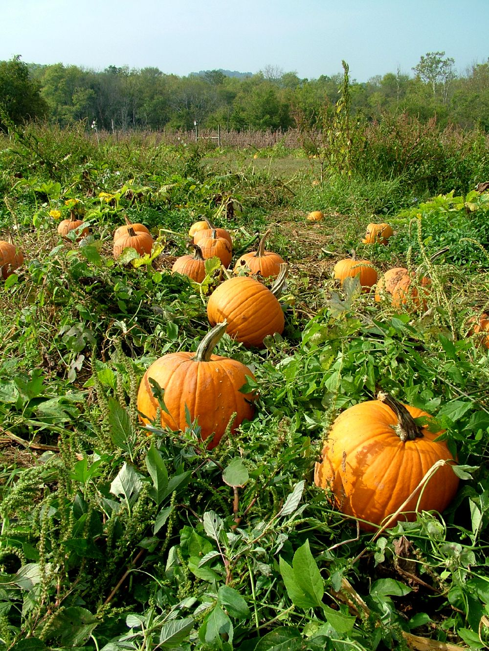Growing Pumpkins Learn When To Plant
