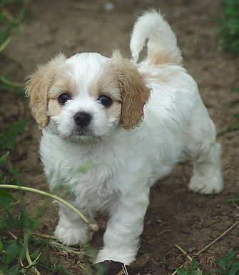 Dogs But This Cavalier