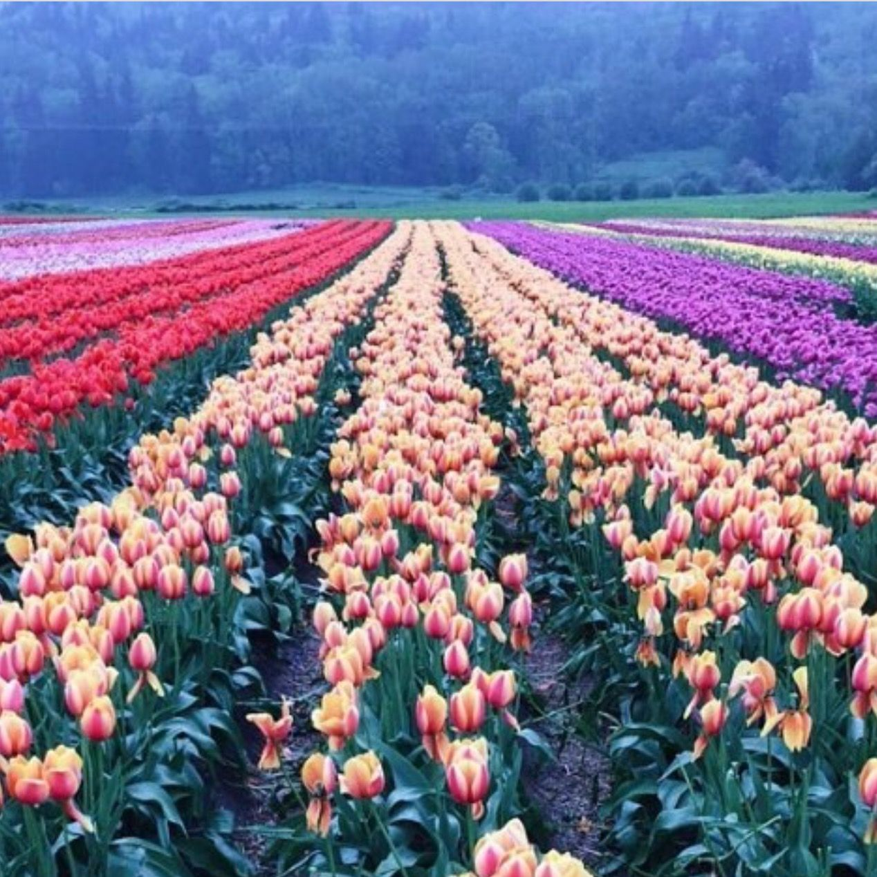Tulips 🌷 as far as the eye can see!