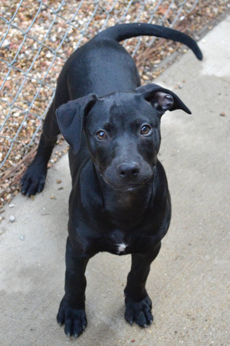 Adopt Spirit on Australian cattle dog, Labrador