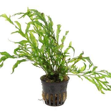 Bolbitis heudelotii - Tropica Aquarium Plants