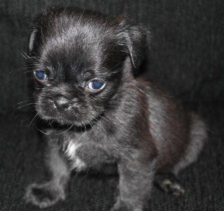 Pug And Shih Tzu Pug Zu Super Cute Dogs Pug Mixed Breeds Cute Animals