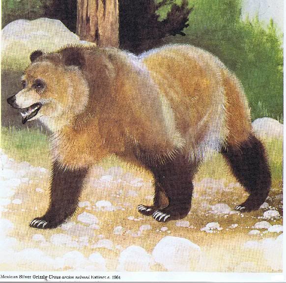 Image result for mexican grizzly bear