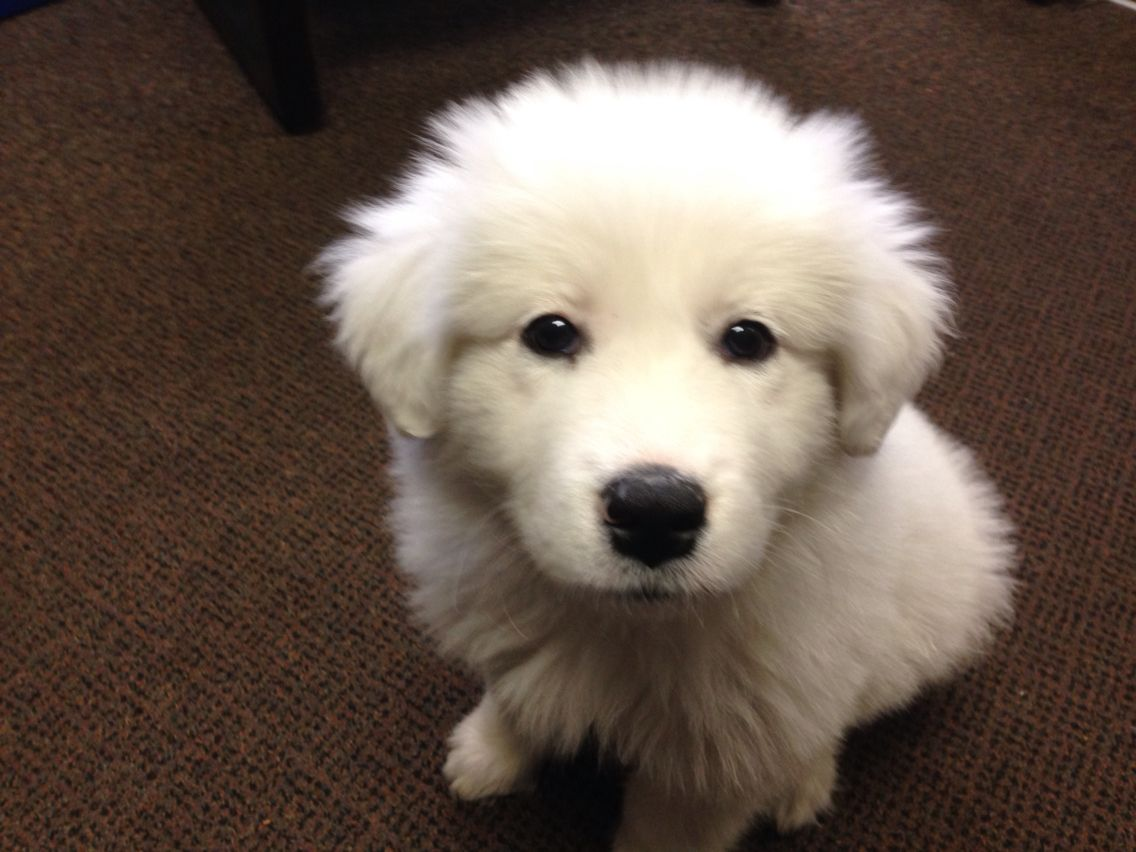 My Great Pyrenees Puppy Echo 9 Weeks Old Great Pyrenees Great