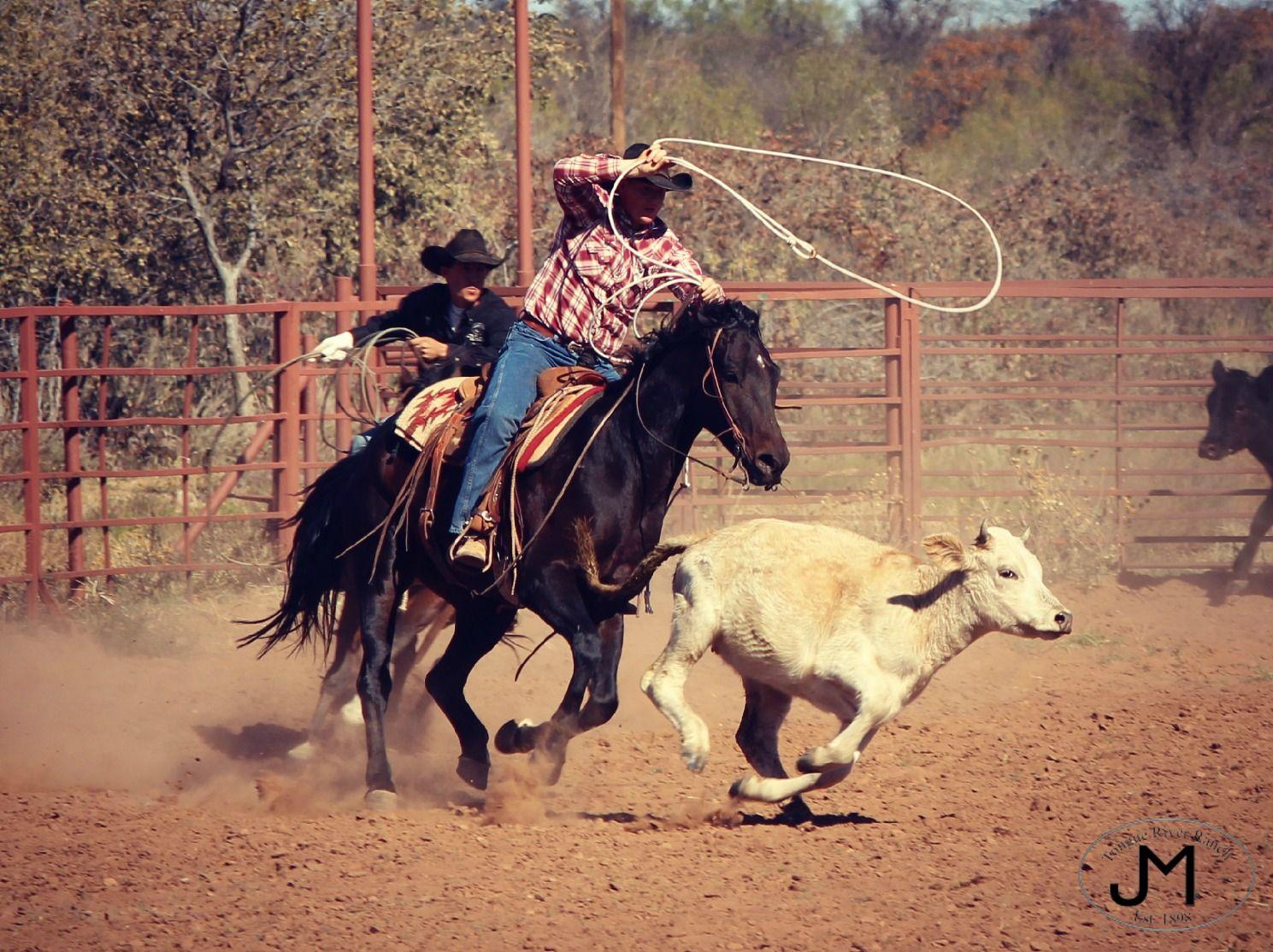Roping Cowboys Horses Tongue River Ranch Texas