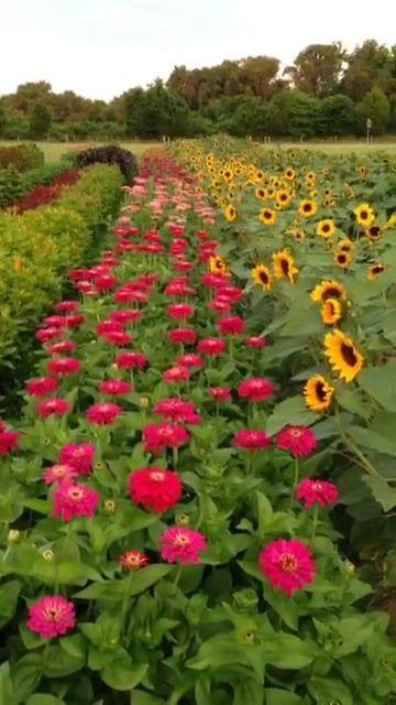 200 Art Zinnia Ideas In 2020 Zinnias Zinnia Flowers Flowers