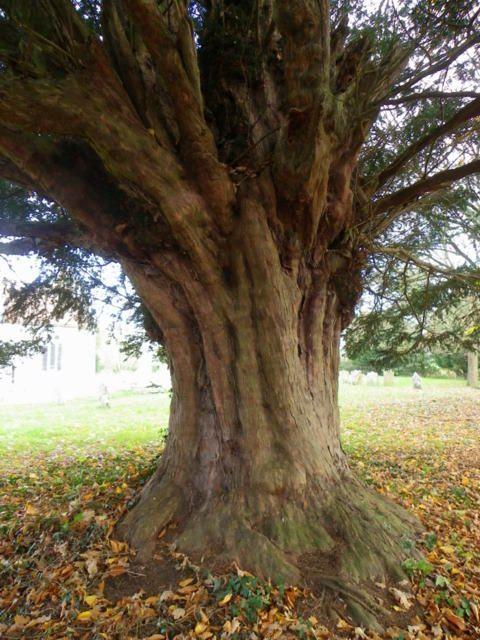 european yew tree google search adornments pinterest