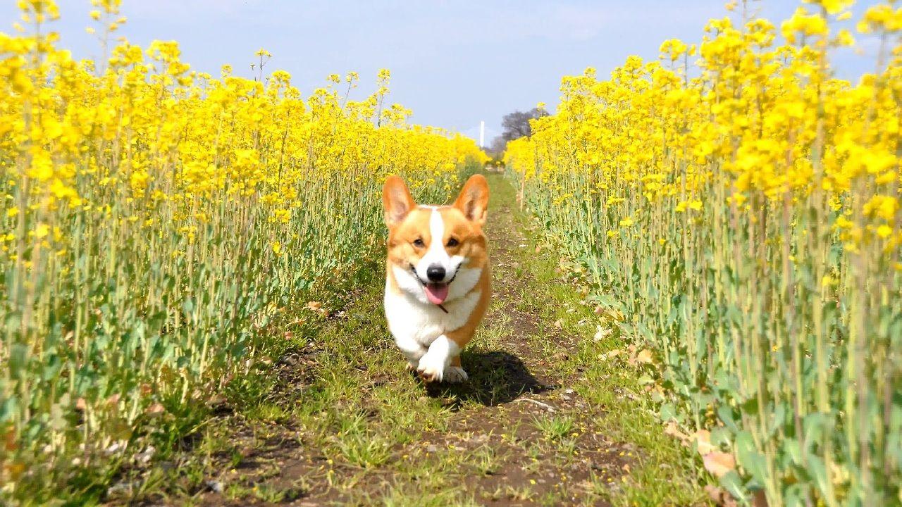 Running Through Fields Of Gold Corgi
