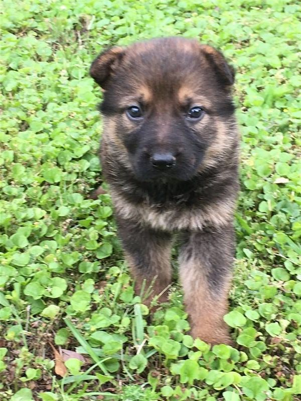 6 German Shepherds Running In The Water Shepherd Puppies Akc