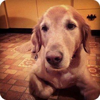 St Louis Mo Golden Retriever Meet Landon A Dog For Adoption