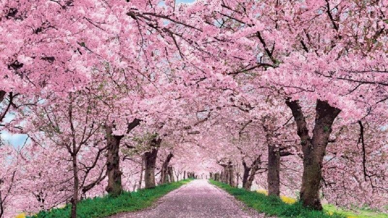 Want To Try Organic Gardening These Tips Can Help Cherry Blossom Wallpaper Cherry Blossom Pictures Blossom Trees