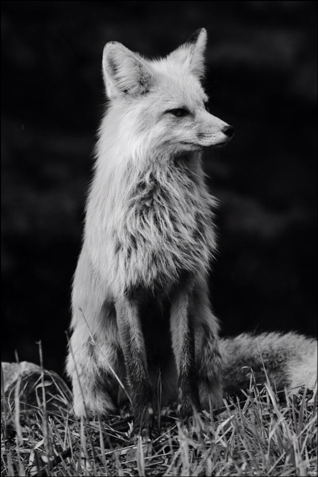 For Both Iphone Intelligent Lockscreen And Homescreen Wallpaper Iphone Wallpaper Fox Animals Beautiful Fox Images Cute Animals