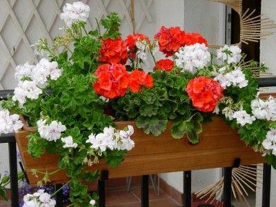 Geranio, Geraneo O Malvón (Pelargonium Spp.): Ficha De La Planta De