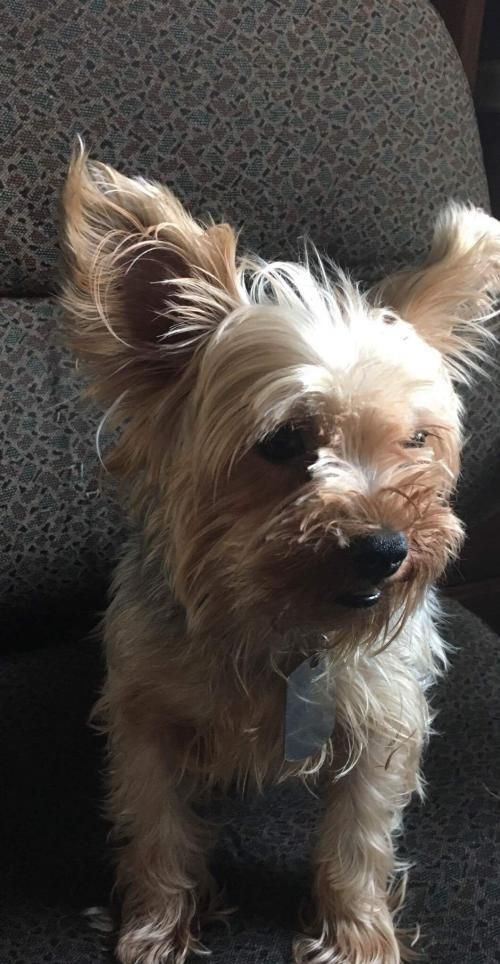 Dash Is An Adoptable Yorkshire Terrier Yorkie Searching For A