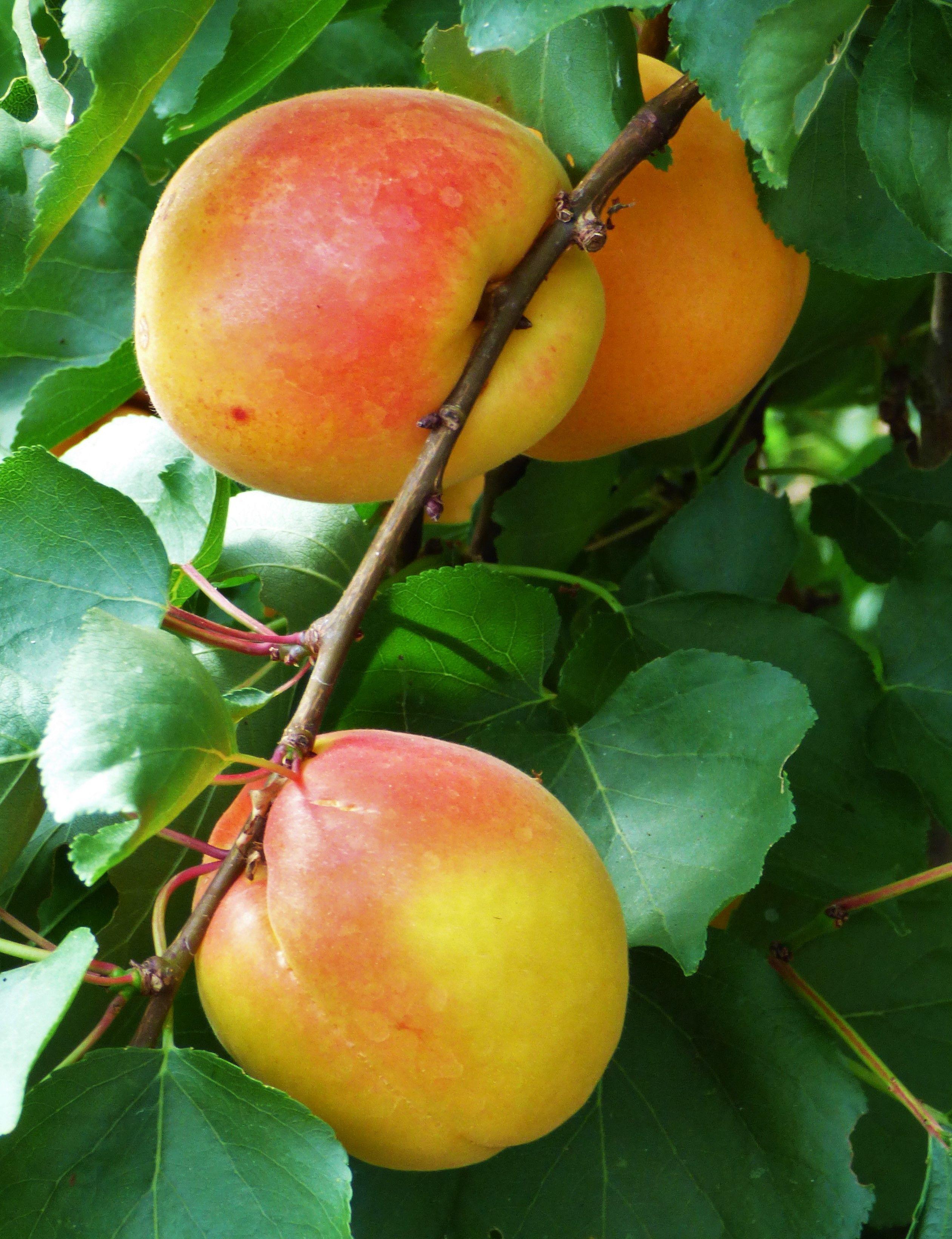 Apricot tilton prunus armeniaca ornamental plants