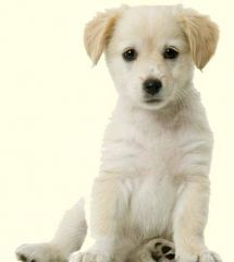 Labrador Mix Puppies For Sale Labrador Mix Greenfield Puppies Golden Retriever Puppy Training Golden Retriever Puppy Easiest Dogs To Train