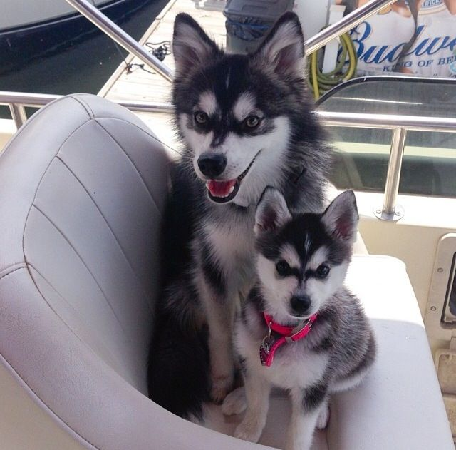 Puppy And Adult Alaskan Klee Kai On The Big Bobber At Grand Lake
