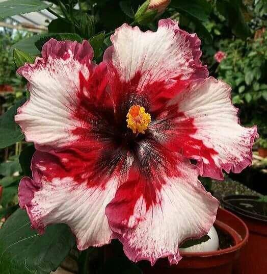 Hibiscus Flower Buds Falling Off Hibiscus Hibiscus Hibiscus