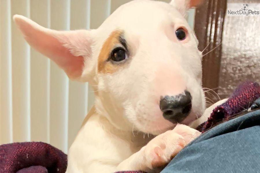 Bull Terrier Puppy For Sale Near New York City New York