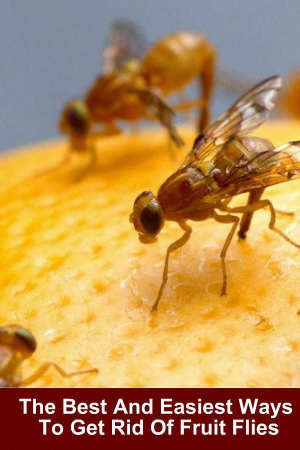 The Basics of Pest Control (With images)   Fruit flies ...