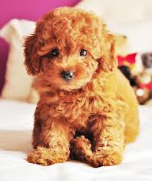 Red Haired Poodle Adorable Cute Animals Cute Dogs