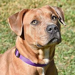 Umatilla, Florida - American Staffordshire Terrier. Meet ...