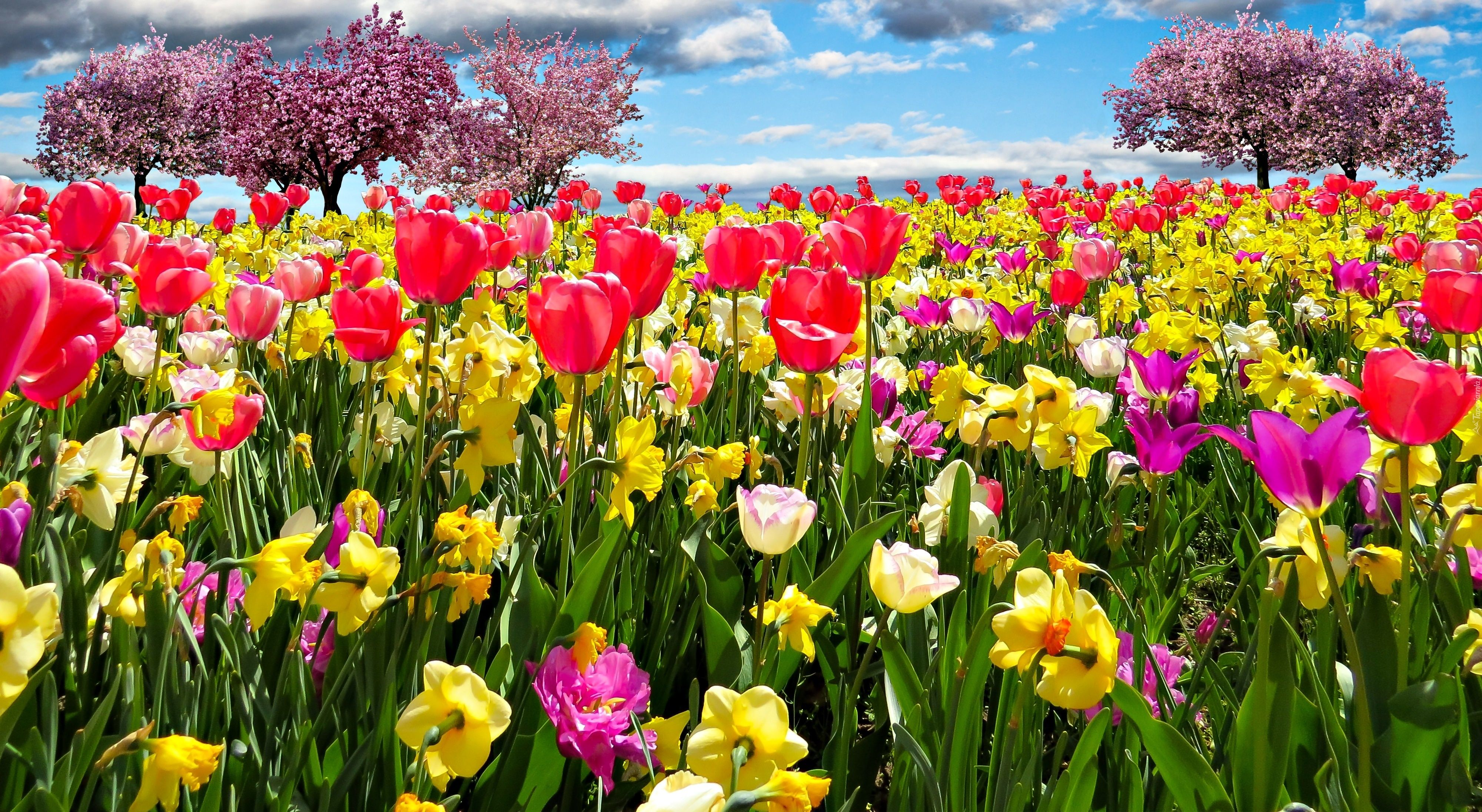 Tulipany Zonkile Drzewa Owocowe Wiosna Yellow Flowers Painting Spring Desktop Wallpaper Spring Tree