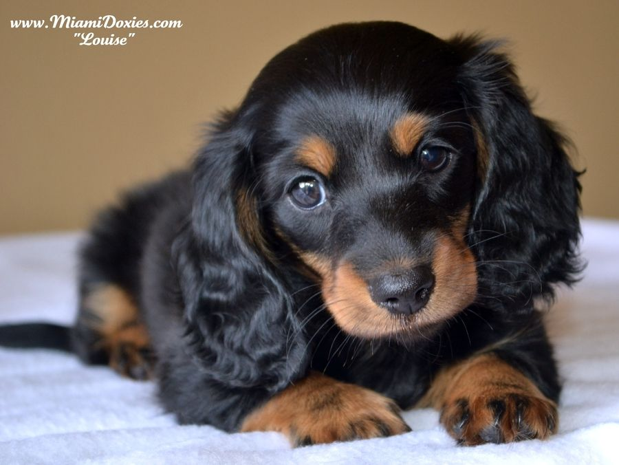 Photograph Too Cute For Words By Steph N On 500px Dachshund Dog
