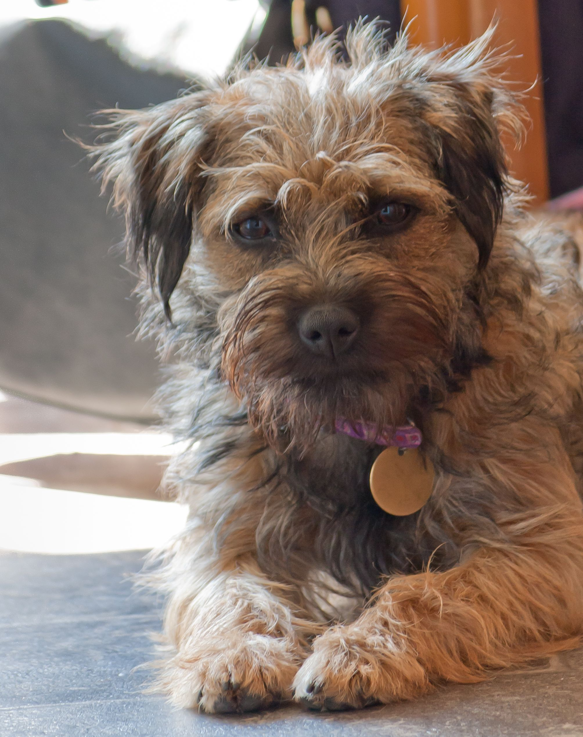 Poppy, seven month old Border Terrier cross. Border