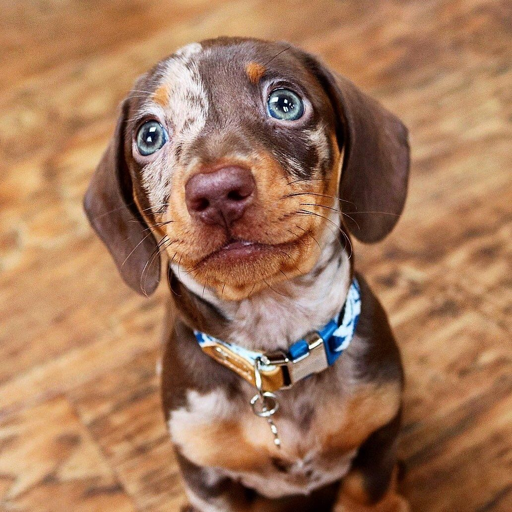 Dachshund Products Apparel And Gifts Puppy Dog Eyes Dapple