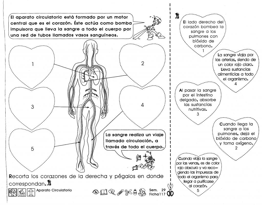 El aparato circulatorio está formado por un motor central que es el ...