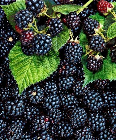 42++ Where to buy blackberry plants ideas in 2021