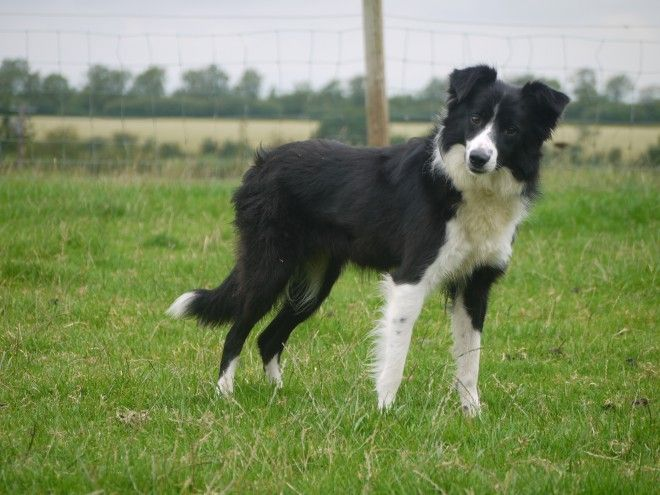 Non Working Border Collie Kate Needs A Home Wigton Cumbria Pets4homes Border Collie Collie Best Dogs